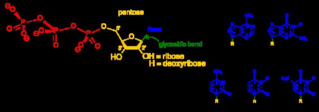 800px-Nucleotides_1.svg