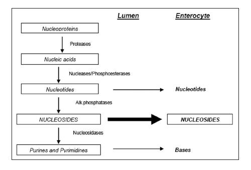 nucleotide digestion